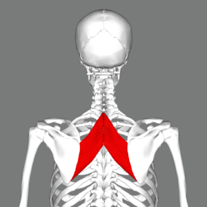 Rhomboid_major_muscle_back