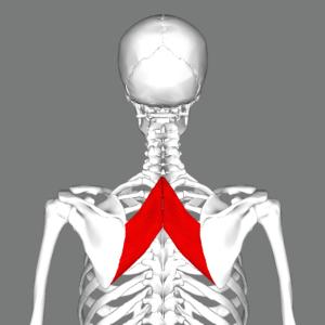 Rhomboid_major_muscle_back